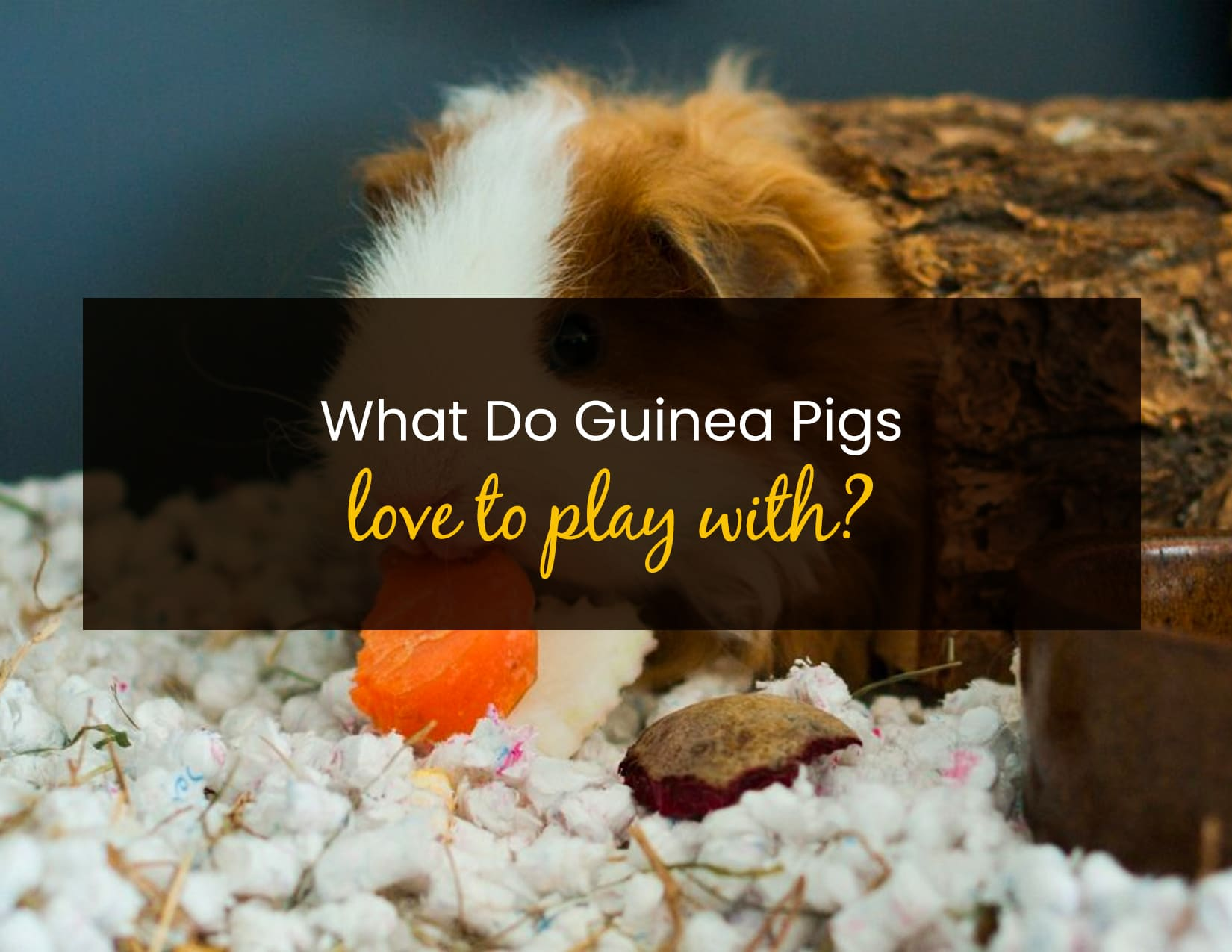 What Do Guinea Pigs Like to Play With - WP