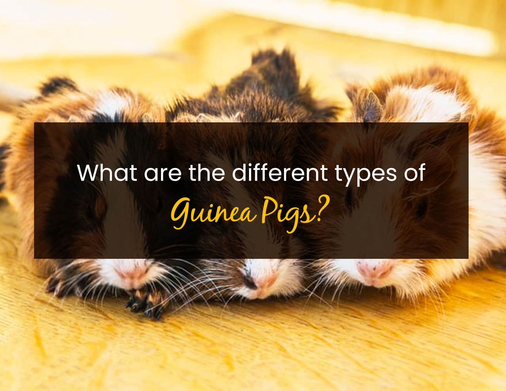 What are the different types of guinea pigs - WP