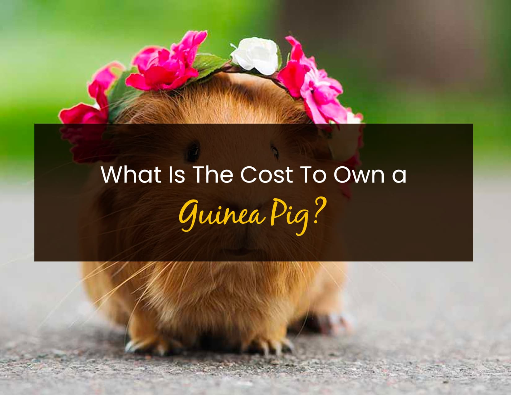 What is the Cost to Own a Guinea Pig - WP