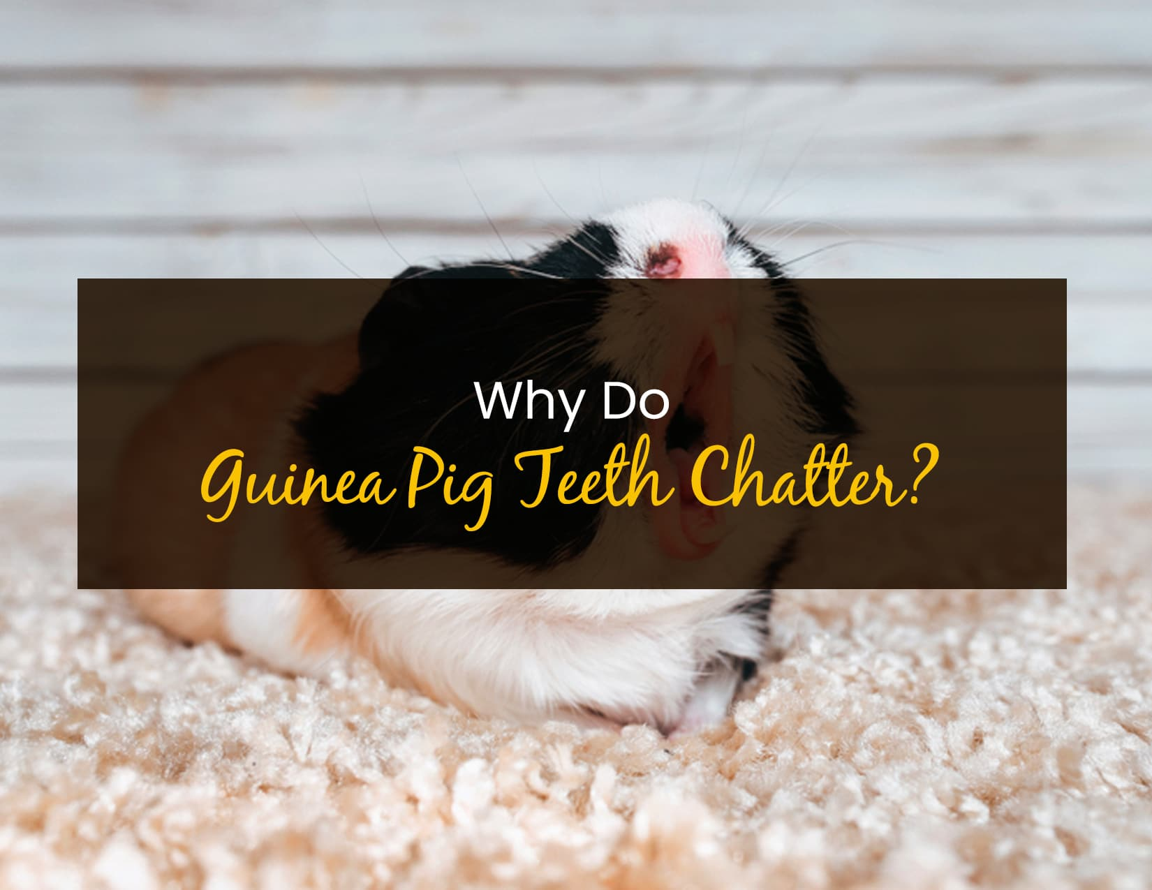 Why Do Guinea Pig Teeth Chatter_ - WP