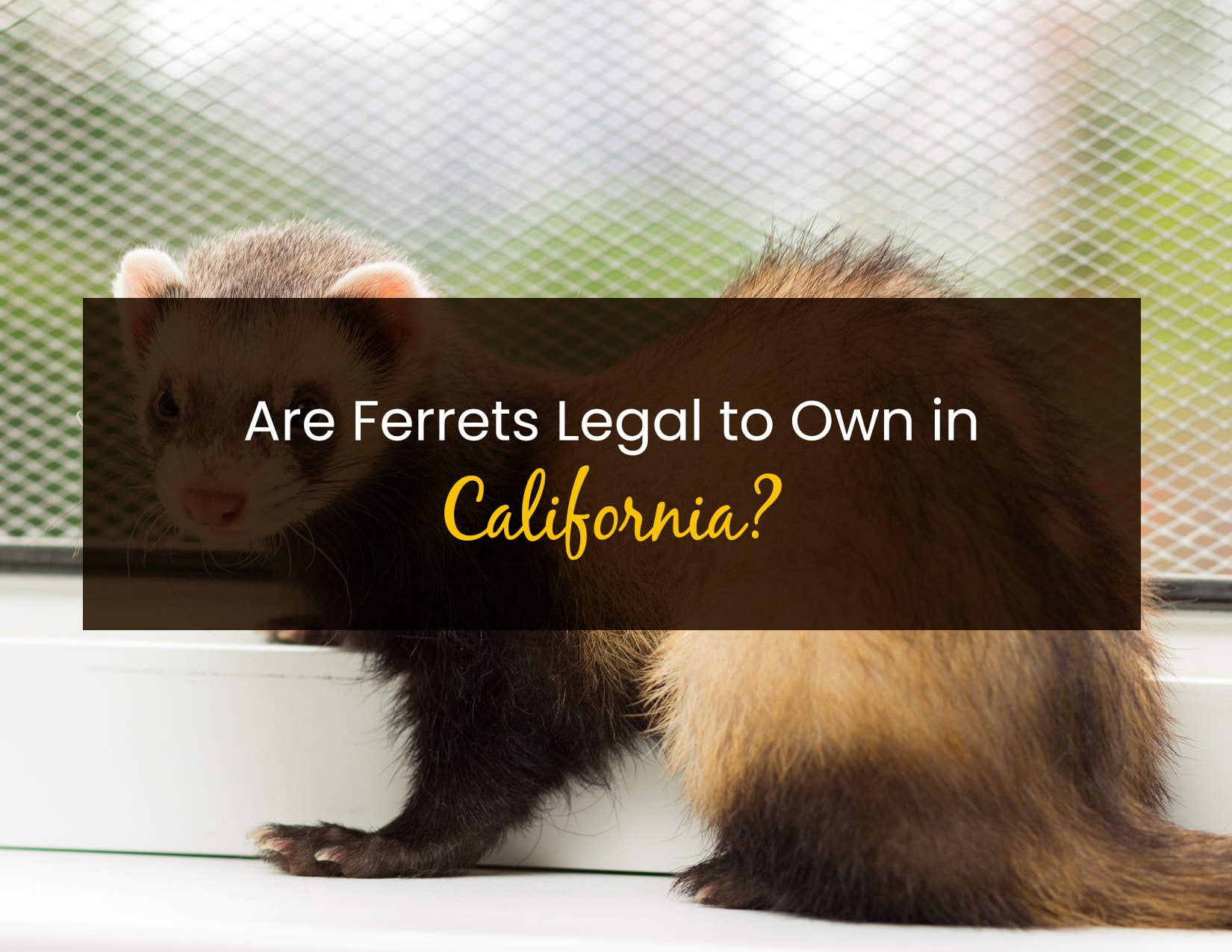 Are Ferrets Legal to Own in California - WP