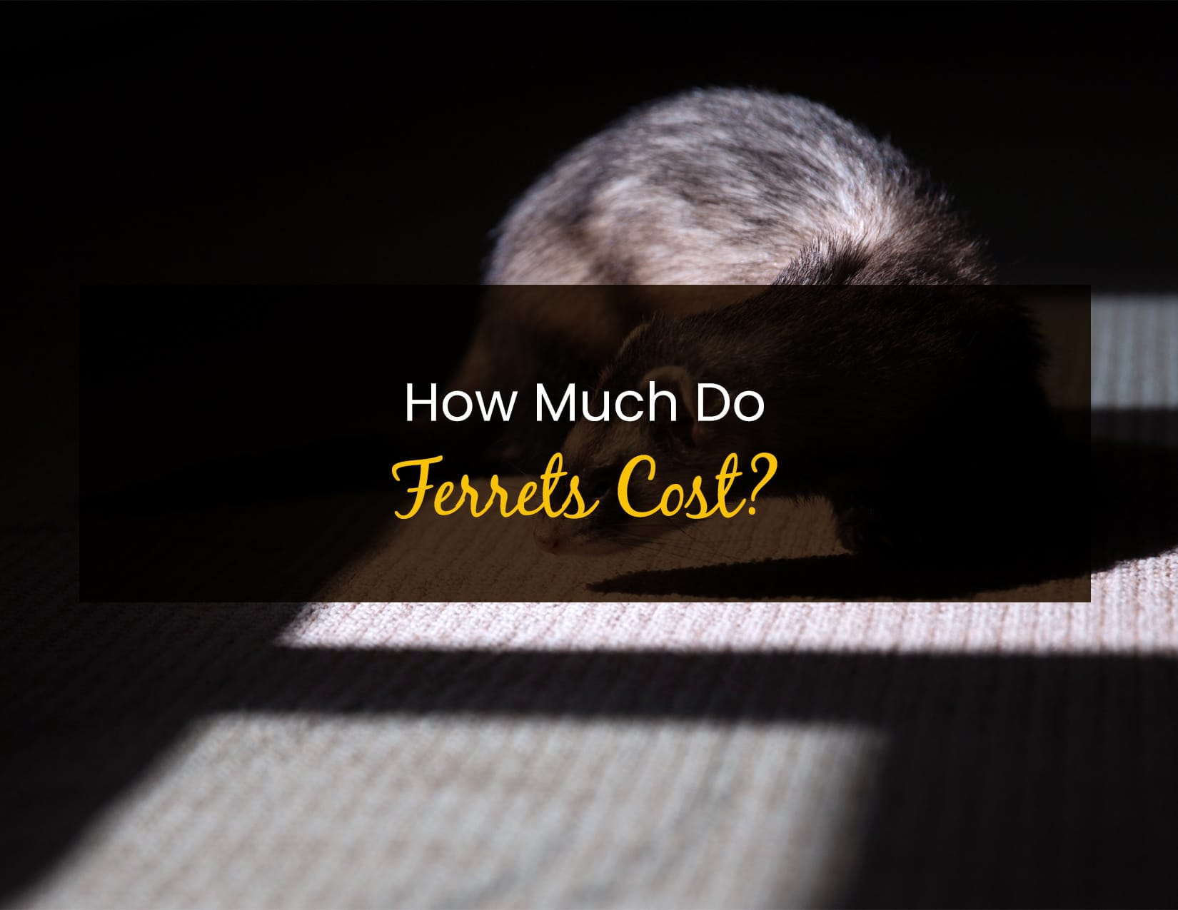 How Much Do Ferrets Cost_ - WP