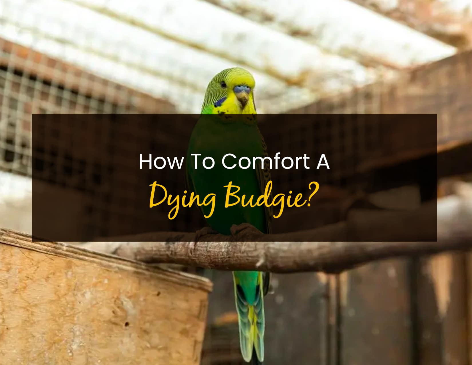 How To Comfort A Dying Budgie - WP
