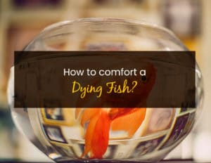 How To Comfort A Dying Fish - WP