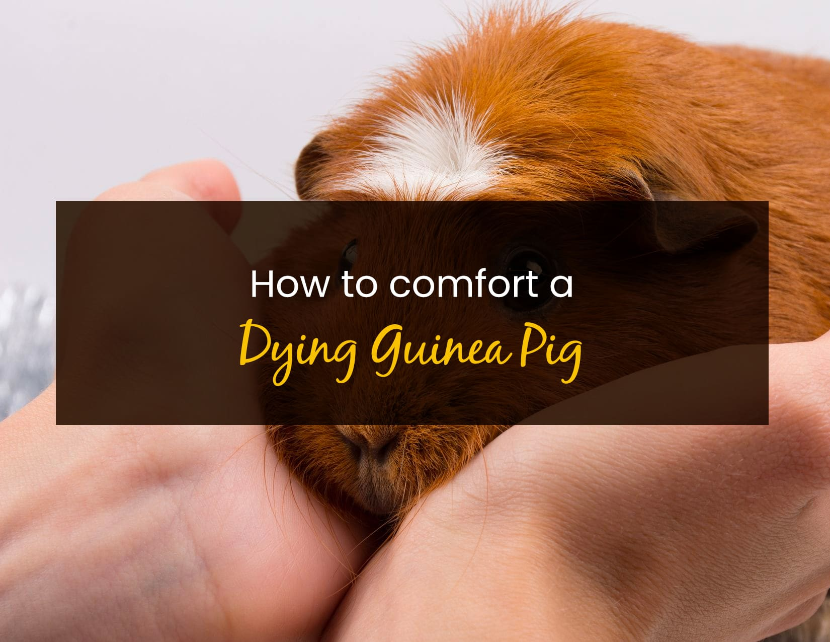 How To Comfort A Dying Guinea Pig - WP