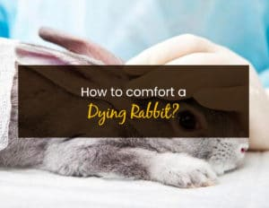 How To Comfort A Dying Rabbit - WP