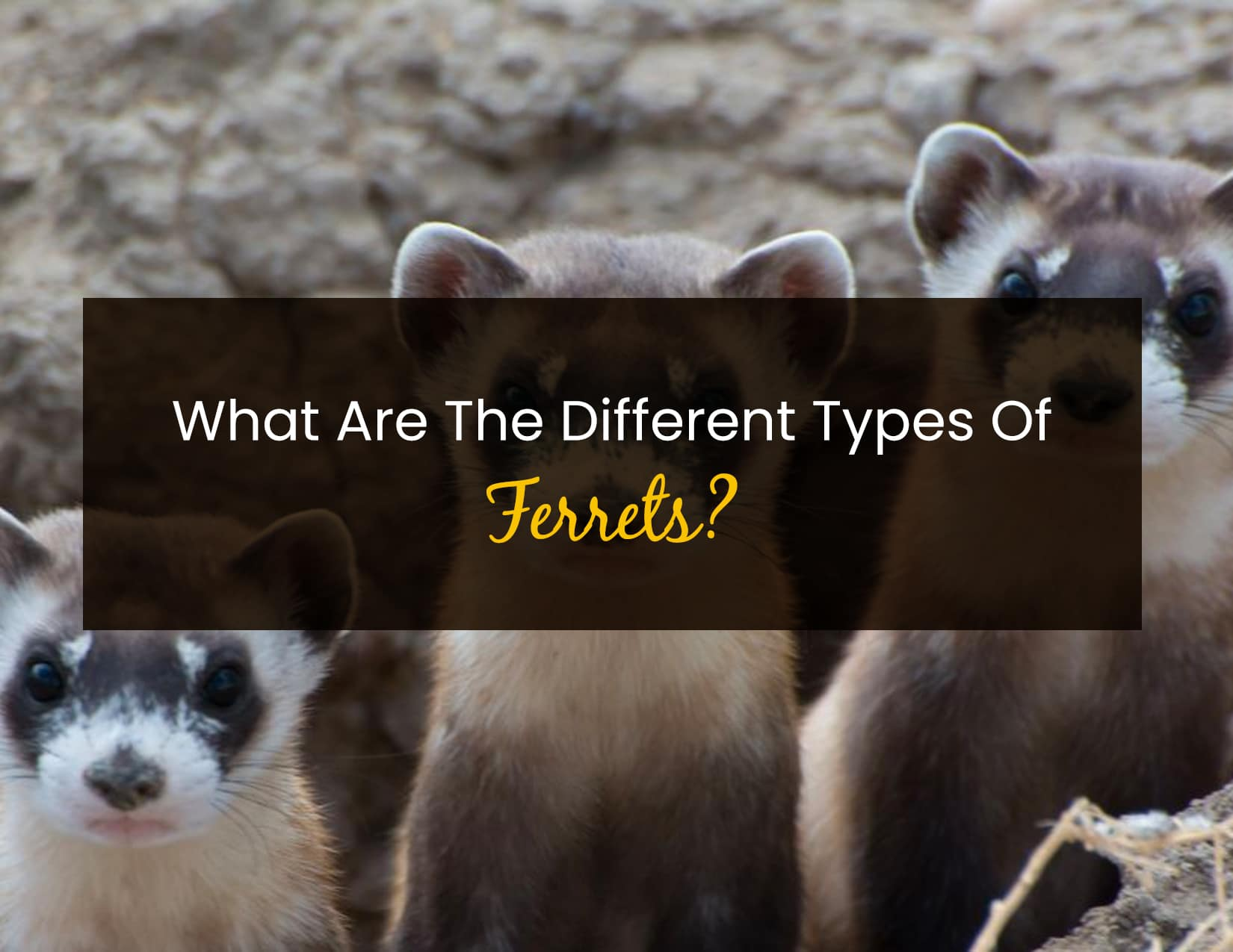 What Are The Different Types Of Ferrets - WP