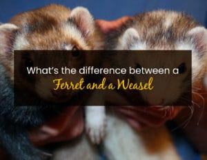 What's the Difference Between a Ferret and a Weasel - WP