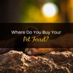 Where Do You Buy Your Pet Ferret - WP