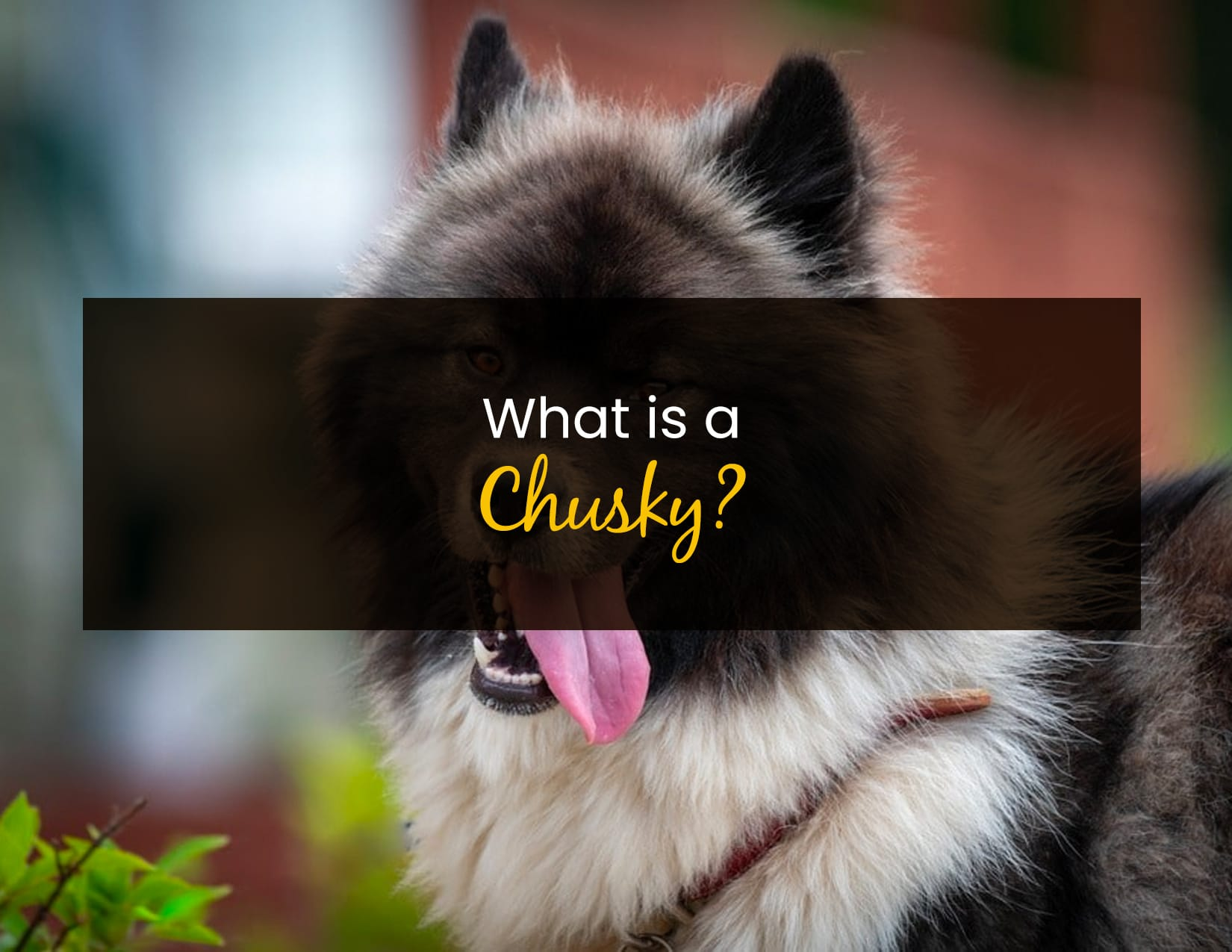 What is a Chusky - WP